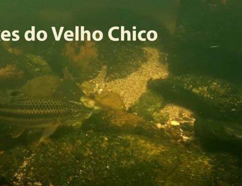 Peixes do  Velho Chico – Documentário